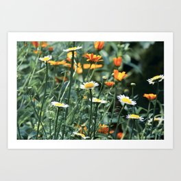 Colorful daisies on the summer field Art Print