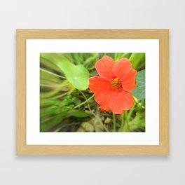 Nasturtium Framed Art Print