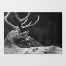 Rain Falls on a Bull Roosevelt Elk in Redwood National Park Canvas Print