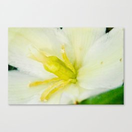 softwhiteflower Canvas Print