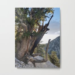 Ancient Bristlecone Pine Forest #3 Metal Print