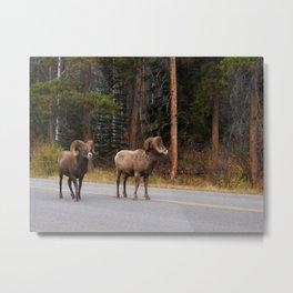Bighorn Rams, Banff Alberta Metal Print