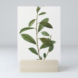 Grey willow, Salix cinerea from Traité des Arbres et Arbustes que l'on cultive en France en pleine t Mini Art Print