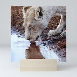 White lion drinking rain water Mini Art Print
