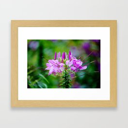 Purple Spider Flower Framed Art Print