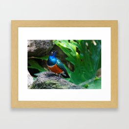 A Stunning African Superb Starling Framed Art Print