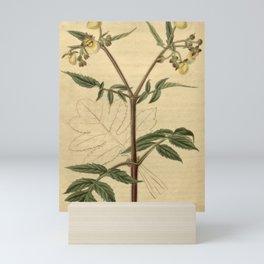 Flower 2405 calceolaria scabiosaefolia Scabious leaved Slipper wort10 Mini Art Print