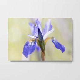 Northern Blue Flag Iris 3 Metal Print