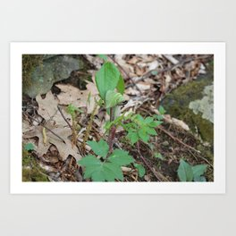 Jack-in-the-pulpit Art Print