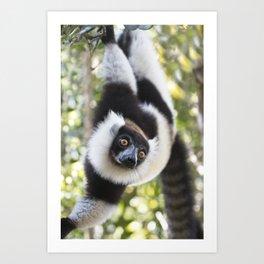 Black and White Ruffed Lemur hanging up-side-down Art Print