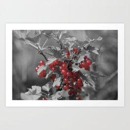 Redcurrant Art Print