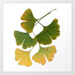 Ginkgo Leaves Are Turning Art Print
