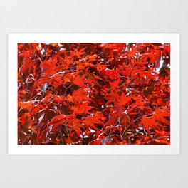 Japanese Red Maple Leaves Art Print