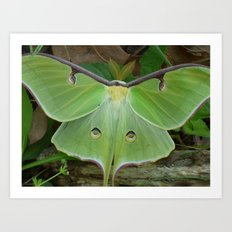 luna moth 2017 III Art Print