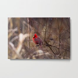 Cardinal - Bright Red Male Bird Rests in Raindrops Metal Print