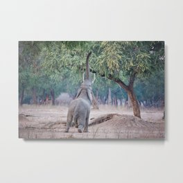 Elephant reaching for Acacia tree Metal Print