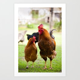 young Rhode Island Red chickens Art Print