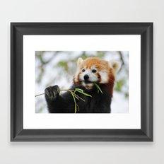 Red Panda 2 Framed Art Print