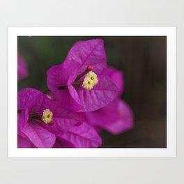 Bougainvillea Flowers 1 Art Print