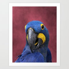 Cheeky Blue Hyacinth Macaw Art Print