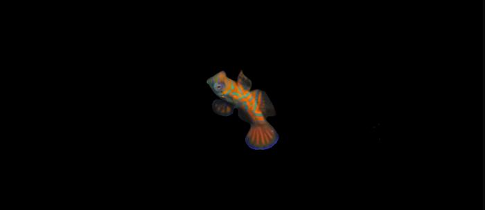 Baby mandarin fish Coffee Mug