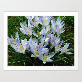Lavender Crocus Art Print