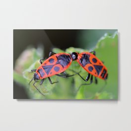 Two fire bug insects macro mating in nature Metal Print