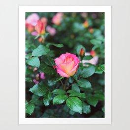Sorbet Roses II Art Print