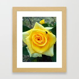 Ladybug on a yellow rose in May Framed Art Print