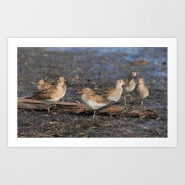 Party with Pectoral Sandpipers Art Print