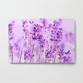 Lavender 207 Metal Print