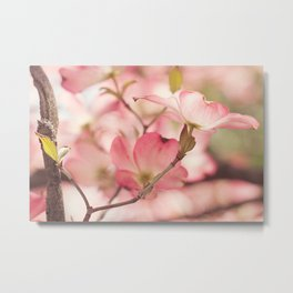 Pink Dogwood, 3 Metal Print