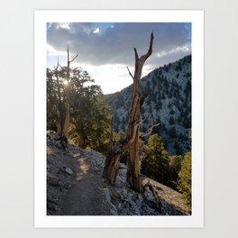 Ancient Bristlecone Pine Forest #2 Art Print