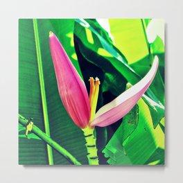 Banana Flower (Musa velutina) Metal Print