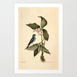 Blue Linnet Art Print