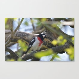 Rose Breasted Grossbeak Canvas Print