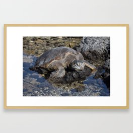 Turtle resting on the Rocks Framed Art Print
