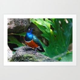 A Stunning African Superb Starling Art Print