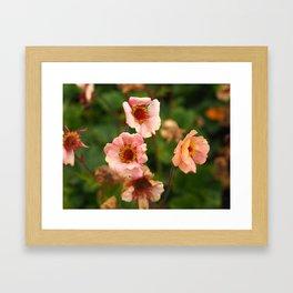 Geums Flowering in a Garden Framed Art Print