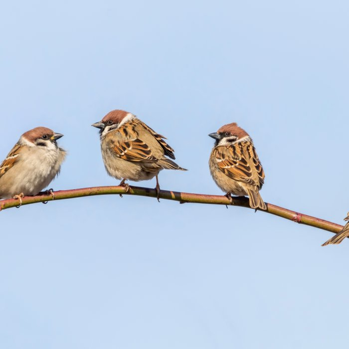 Tree Sparrows on branch (Passer montanus) Close Up Comforters