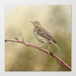 Meadow Pipit Canvas Print