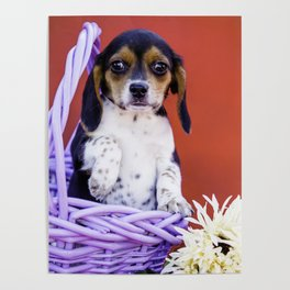 Tricolor Beagle Puppy Holding up Her Paw in a Purple Basket with Flowers in Front of Red Background Poster