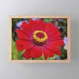 Red zinnia - blazing ring of fire Framed Mini Art Print