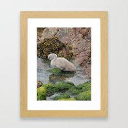 Baby Swan Framed Art Print