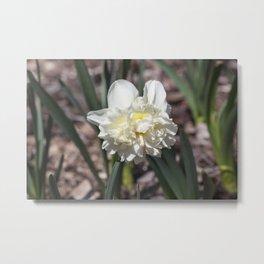 Daffodil in Cream Metal Print