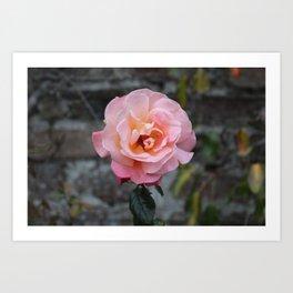Blooming Rose Art Print