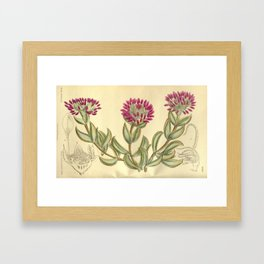Mesembryanthemum pillansii/Erepsia pillansii, Aizoaceae Framed Art Print