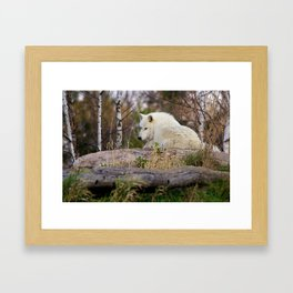 Arctic Wolf Caught Napping Framed Art Print