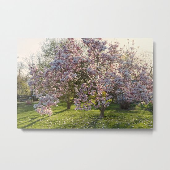 Magnolia tree in spring Metal Print