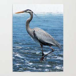 Great Blue Heron on the Pacific Coast in Costa Rica Poster
